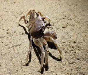 Crab on Sand Free Photo 1